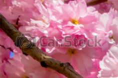 Pictures of Beautiful Japanese cherry tree blossom in May csp27602088 - Search Stock Photos, Images, Photographs, and Photo Clip Art