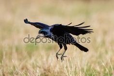 New image @Depositphotos: #Rook (Corvus frugilegus) #bird #animal #denmark http://depositphotos.com/97674524/stock-photo-rook-corvus-frugilegus.html