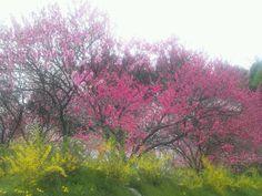 花桃とレンギョ