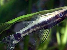 Otocinclus Catfish as a betta tank mate VERY GOOD FOR A TIMID BETTA