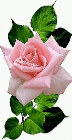 growing hybrid tea roses in containers Beautiful Flowers Wallpapers, Beautiful Rose Flowers, Amazing Flowers, Pretty Flowers, Pink Flowers, Exotic Flowers, Rose Reference, Flower Phone Wallpaper, Rose Images