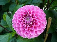 dahlia flower - Google Search