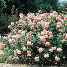... Abraham Darby Rose; Rosier David Austin  Abraham ..  My 2, but mine do not bloom like this. Gotta move them to a better location..
