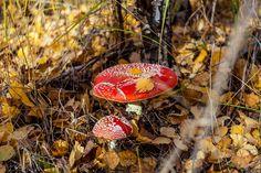 Мухомор красный (Amanita muscaria) фото грибов, лесной гриб мухомор Клубника, Фрукты, Овощи