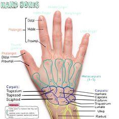 In this image, you may find Hand Bone Anatomical Landmark. Hand Anatomy, Anatomy Bones, Human Body Anatomy, Human Anatomy And Physiology, Muscle Anatomy, Nursing School Notes, Medicine Student, Medical Anatomy, Physical Therapy Student