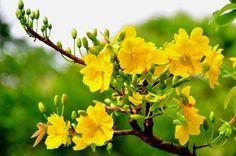 La fleur jaune de prunier est le symbole de la chance, et fleurit uniquement au période du Nouvel An du Sud du Vietnam.