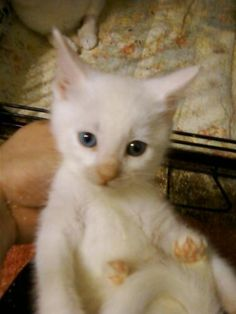 Meet Elijah a Petfinder adoptable Domestic Short Hair-white Cat | Cranford, NJ | I am very sweet and affectionate even though I am very young. My mom was rescued from she is very...