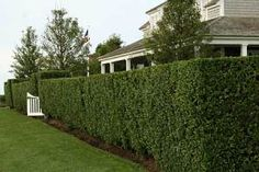 Where space is tight, fast-growing columnar evergreens like Italian cypress or a sheared privet hedge can provide a simple solution for separating adjoining yards or blocking sight lines out a kitchen window. Backyard Plants, Garden Shrubs, Backyard Patio, Shade Garden, Flowering Shrubs, Hedging Plants, Fence Plants, Herb Garden, Vegetable Garden