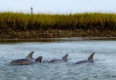 historiccharleston:  Dolphins swim near Folly, Morris Island Lighthouse in the background.  Photo - Folly Beach