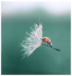Although ladybugs have wings, this one is hitching a ride on a dandelion seed!