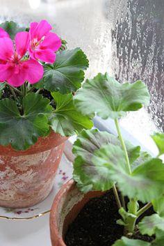 Simple, sweet geraniums