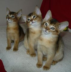 Litter size of Abyssinian Cats.Click the picture to read