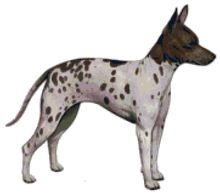 The American Hairless Terrier is a breed of dog that was formerly considered a variant of Rat Terrier. As of January 1, 2004, the United Kennel Club deemed the AHT a separate terrier breed. An intelli