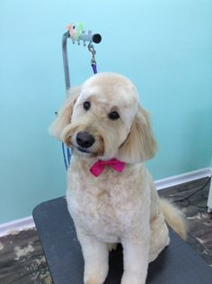 Lola, after makeover The UpScale Tail, Pet Grooming Salon, Naperville www.theupscaletail.us