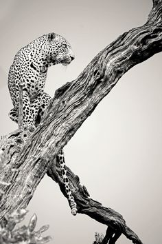 Fotografia Lookout Leopard de Rudi Hulshof na Beautiful Cats, Animals Beautiful, Cute Animals, Beautiful Pictures, Ocelot, Big Cats, Cool Cats, Wildlife Photography, Animal Photography