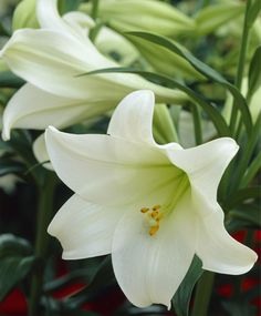 Easter Lily. These lilies are so beautiful! Be careful though because they are poisonous to cats. #lily #pretty #elegant