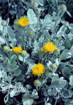 Check out the deal on Centaurea cineraria Candissima     100 seeds at Hazzards Seeds