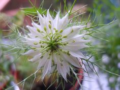 https://flic.kr/p/6zz6KU | fennel flower | Pretty white herb flower