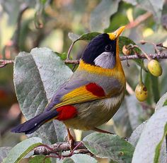 Silver-Eared Mesia, what a great color palette for gardening or jewelry! Purple, plum, orange, yellow, wine red, black, white. Yum.