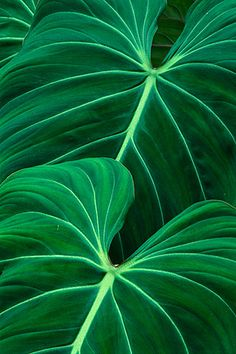 "Green natural pattern in leaves. Photo by National Geographic photographer Frans Lanting -- ""Leaf Patterns Jungle leaves, Atlantic Forest, Brazil"""
