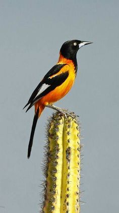 Corrupião (Icterus Jamacaii )Brazilian Birds