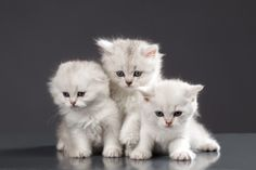White persian kittens http://www.dividedback.com/
