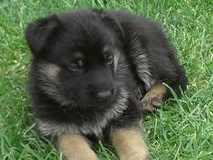Gorgeous german shepherd puppy