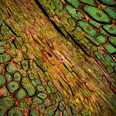 Corn cells - leaf cell (green) and vein