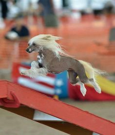 A spritely 4-year-old Chinese Crested dog named Pixie performs agility in Tulsa, Okla., at the AKC National Agility Championship. Pixie and owner Kathryn Clark traveled from Florida to attend their first agility championship. Paws up for Pixie, proving toy breeds can be fierce competitors!