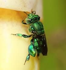 Image result for euglossine bees