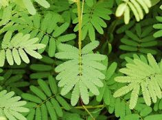 Sensitive Plant - A Brazilian plant with a strange evolution quirk where the leaves can curl up on contact as protection from a potential predator. This folding can even be set off by too-harsh sunlight, so be wary. Indoor Shade Plants, Air Plants, Potted Plants, Planting Succulents, Planting Flowers, Planting For Kids, Sensitive Plant, Flower Names, Small Leaf