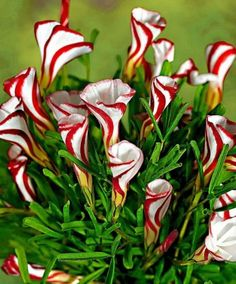 Candy Cane Sorrel (Oxalis versicolor) is native to South Africa, and got its name thanks to its beautiful blossom, which resembles a candy cane.