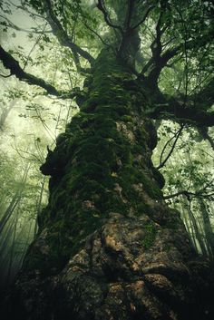 Traveler in Time.. - Acer pseudoplatanus in the nebrodi park old over 1000 years