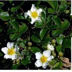 Chilei eper - Fragaria chiloensis Cheval  Árnyékos helyen is jól fejlődik. Fehér virágai tavasszal, ízletes ehető termései ezután augusztusig díszítik.
