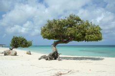 Aruba, Eagle Beach, Fofoti Trees