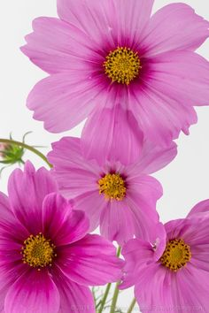 In my continuing adventures photographing flowers in the studio – photographing cosmos was definitely a learning experience. The cosmos are such delicate flowers that it was challenging to ge…