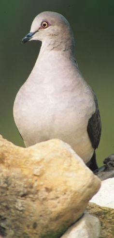 White-tipped Dove(Leptotila verreauxi)