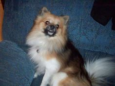 Zeek is a 16 month old, male Pomeranian available for adoption through Central Ohio Pomeranian Rescue.http://www.petfinder.com/petdetail/27723062/He is such an energetic, happy puppy!Zeek loves to dance and talk to his foster mom.He loves to be...
