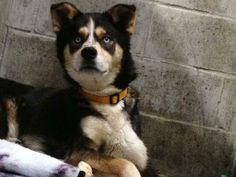 Oliver and 3 of his pups were rescued from a back yard breeder and brought to our Shelter.He's a 1 1/2 yr old Husky mix.We refer to him as a gentle giant given his size and nature. He loves to go for walks,play with his toys and cuddle.Come to the...
