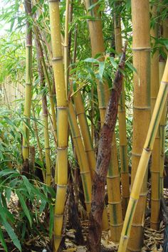 edulis this variation of edulis has yellow culms with alternating green - Growing Bamboo