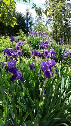 Bearded iris in spring