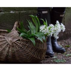 Picking the last bouquets of wild garlic as its season is shortly coming to an end...that's the beauty of it, the ever changing seasons bringing forth treats to cook with for just a few weeks. And then, there's a whole year till next time... #seasonalcookingistheshiz #wildgarlic (photo by @hverdagslykkelise)