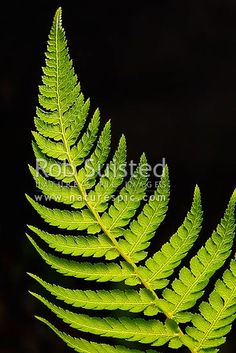 Silver tree fern frond or leaf backlit with black background - Ponga (Cyathea dealbata), New Zealand (NZ) stock photo. Quality New Zealand images by well known photographer Rob Suisted, Nature's Pic Images.
