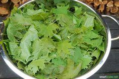 Ahorn ist mehr als nur ein Baum - die Blätter sind gesund und nahrhaft. Pflück dir einen gesunden Powersalat so lange sie noch jung und frisch sinde!