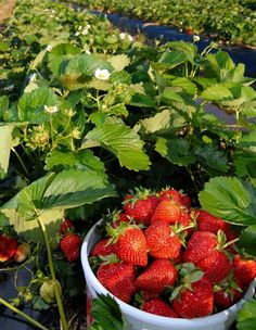 Strawberry season.  Jump in my belly!