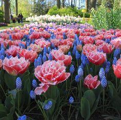 #keukenhof #beautiful #tulips #pretty #pink #flowers #spring in #holland #europe #photooftheday #travel and #visit #lisse #bollenstreek #voorjaar #tulpen #park #tui #garden #blumen #garten #floral #beauty #canon #canonphotography #wonderful by visitlisse
