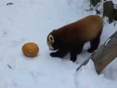 Red panda doing his special attack