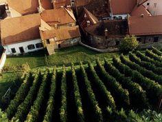 Vinorodno območje v Ptuju #Slovenia