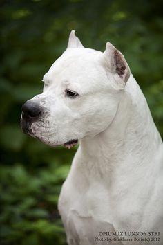 EURO CHAMPION Dogo Argentino