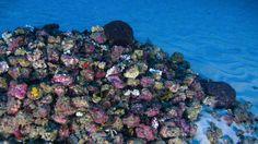 As primeiras imagens das recém-descobertas formações de corais na foz do Amazonas #timbeta #sdv #betaajudabeta